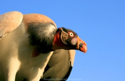 King Vulture (Sarcoramphus papa) with a blue sky background, belonging to a wild animal rental company. San Diego, California